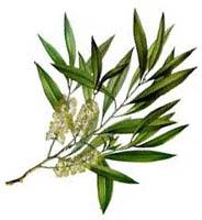 plantă tea tree